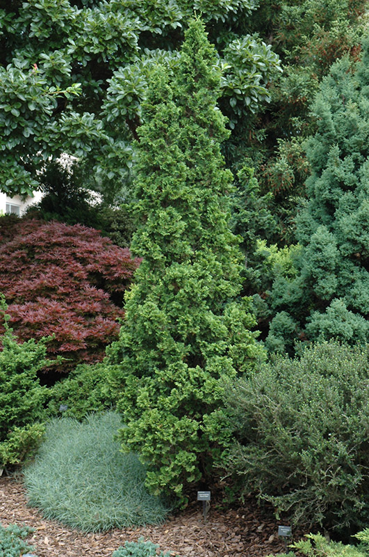 how to get arborvitae to fill in