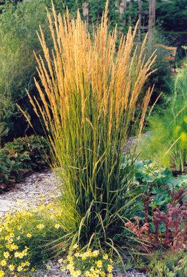 Green value nursery perennials ornamental grasses for Ornamental grass that looks like wheat