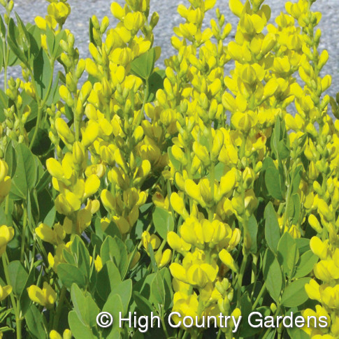 Green value nursery perennials perennial flowers baptisia baptisia sphaerocarpa screaming yellow mightylinksfo