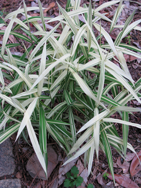 Green Value Nursery :: Perennials :: Ornamental Grasses ...