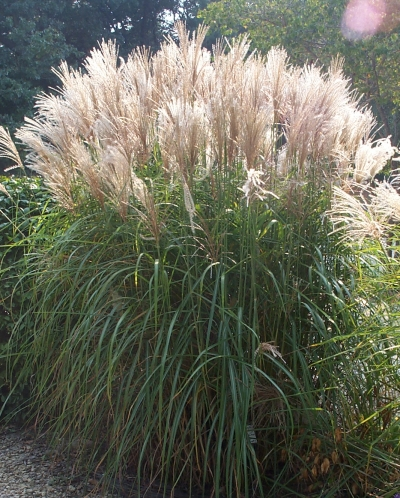 Green value nursery perennials ornamental grasses for Ornamental grass with purple plumes