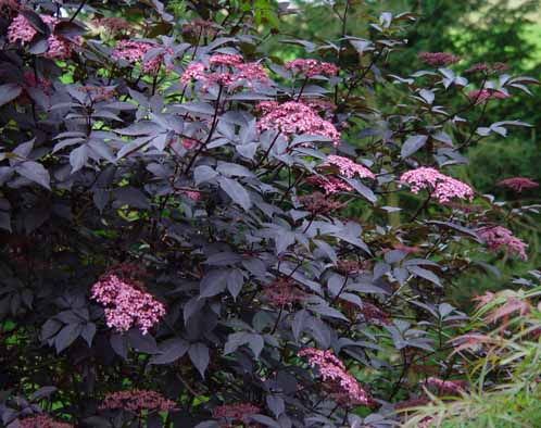 green value nursery deciduous shrubs sambucus nigra. Black Bedroom Furniture Sets. Home Design Ideas