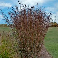 Andropogon gerardii 'Indian Warrior'