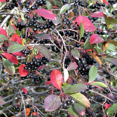 Aronia melanocarpa 'Autumn Magic'