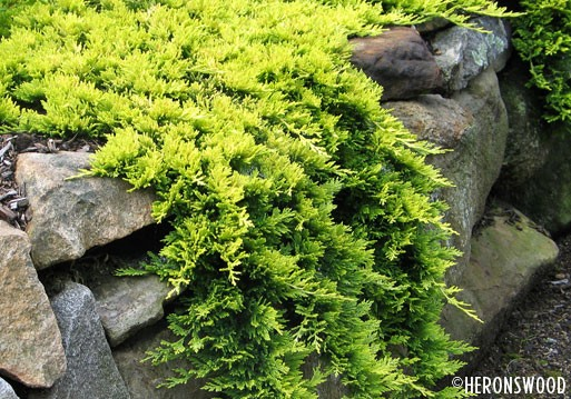 Juniperus horizontalis 'Mother Lode'