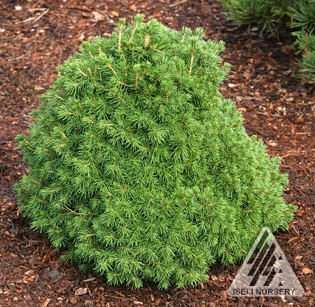Picea abies 'Tompa'