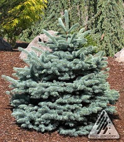 Picea pungens 'R.H. Montgomery'