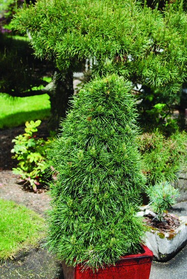 Pinus sylvestris 'Green Penguin'