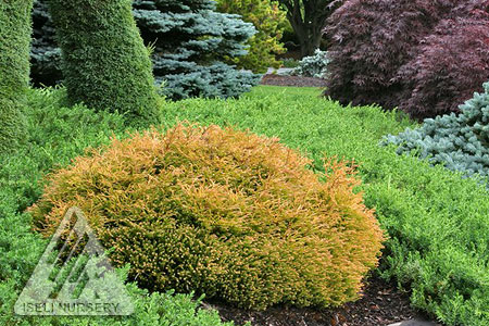 Thuja occidentalis 'Golden Tuffet'