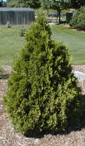Thuja occidentalis 'Holmstrup'