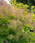 Cotinus coggygria 'Young Lady'