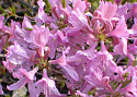 Rhododendron 'Orchid Lights'