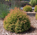 Thuja occidentialis 'Congabe'