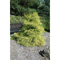 Chamaecyparis pisifera 'Lemon Thread'