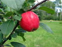 Malus 'Haralred'