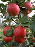 Malus 'Honeycrisp'