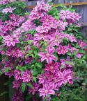 Clematis 'Dr. Ruppel'